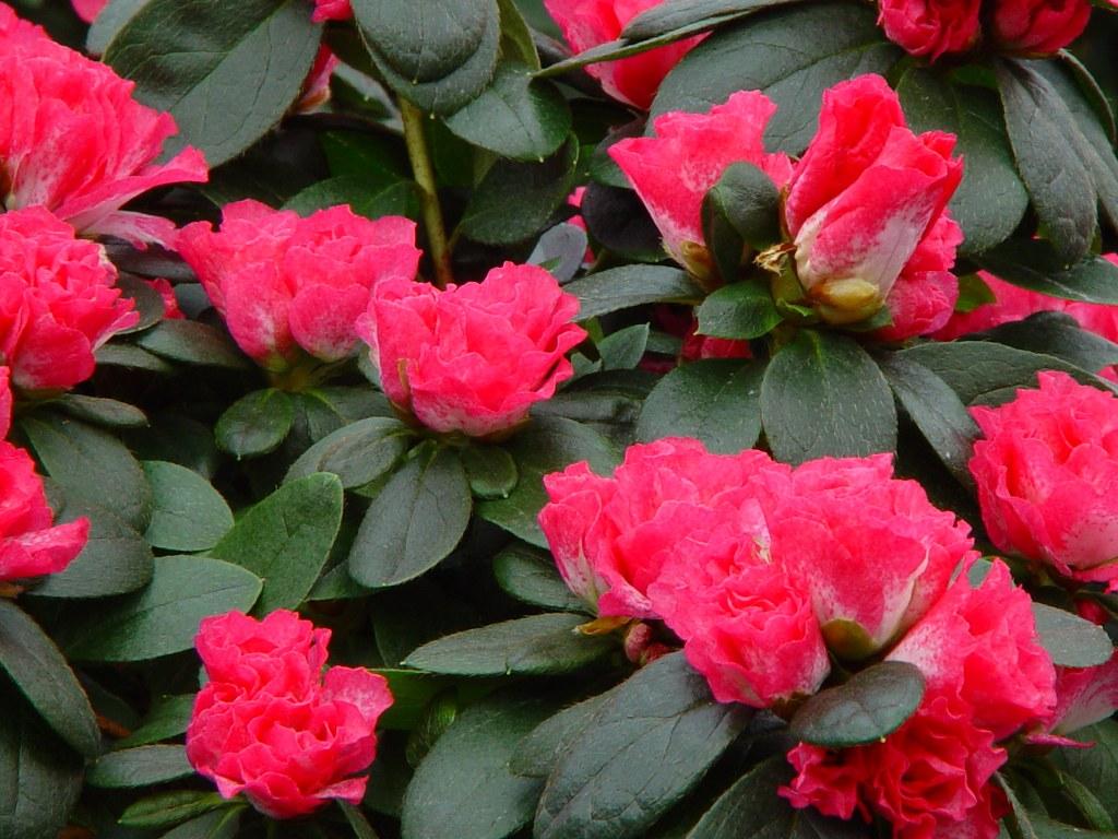 Azalea indica 'Huelsten'