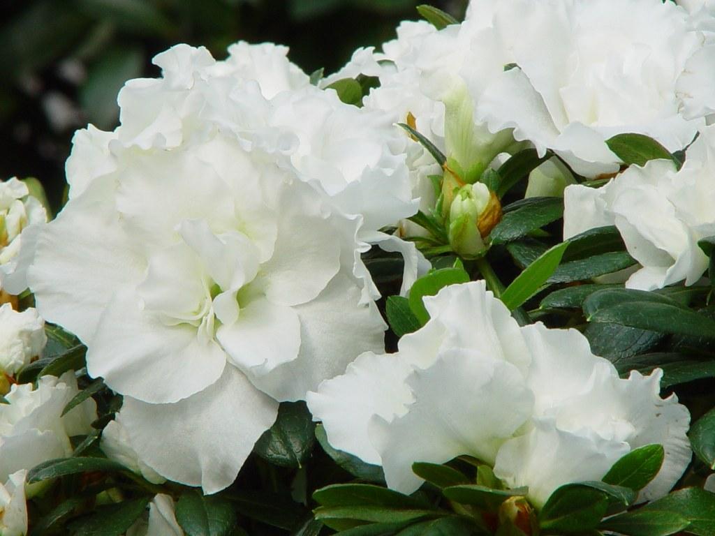 Azalea indica 'Knut Alba'
