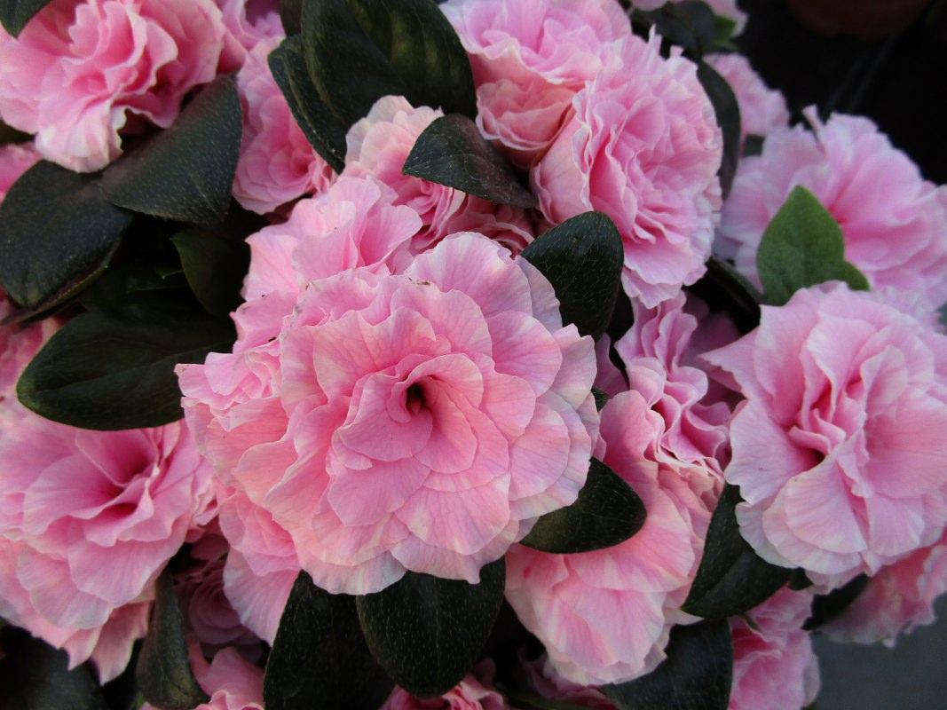 Azalea indica Aiko Bicolo