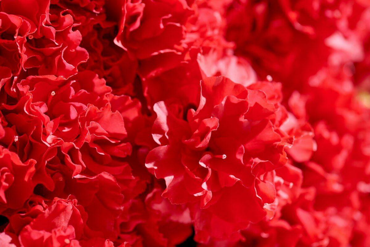 Azalea indica Hortinno Yakandi Scarlata